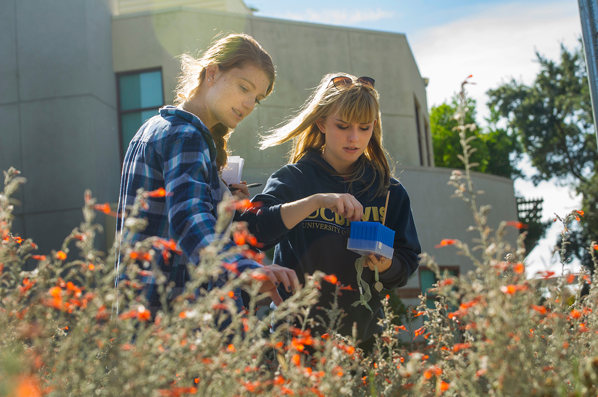 Students from Dr. Rachel Vannette's laboratory in the Department of Entomology and Nematology examine fuchsia blossoms to help determine which floral traits are attractive to pollinators.