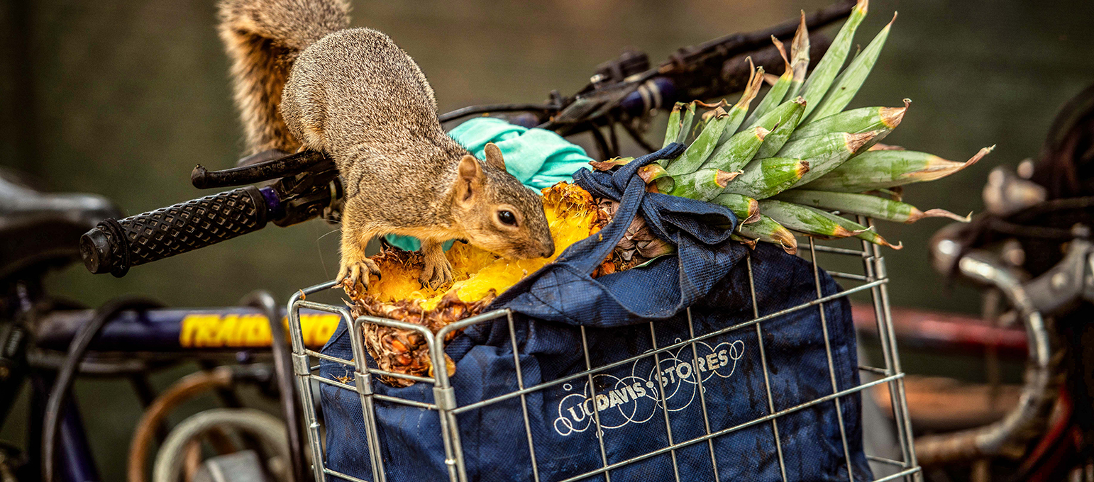squirrel eating pineapple