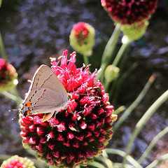 Image of butterfly on a plant in the UC Davis Arboretum.