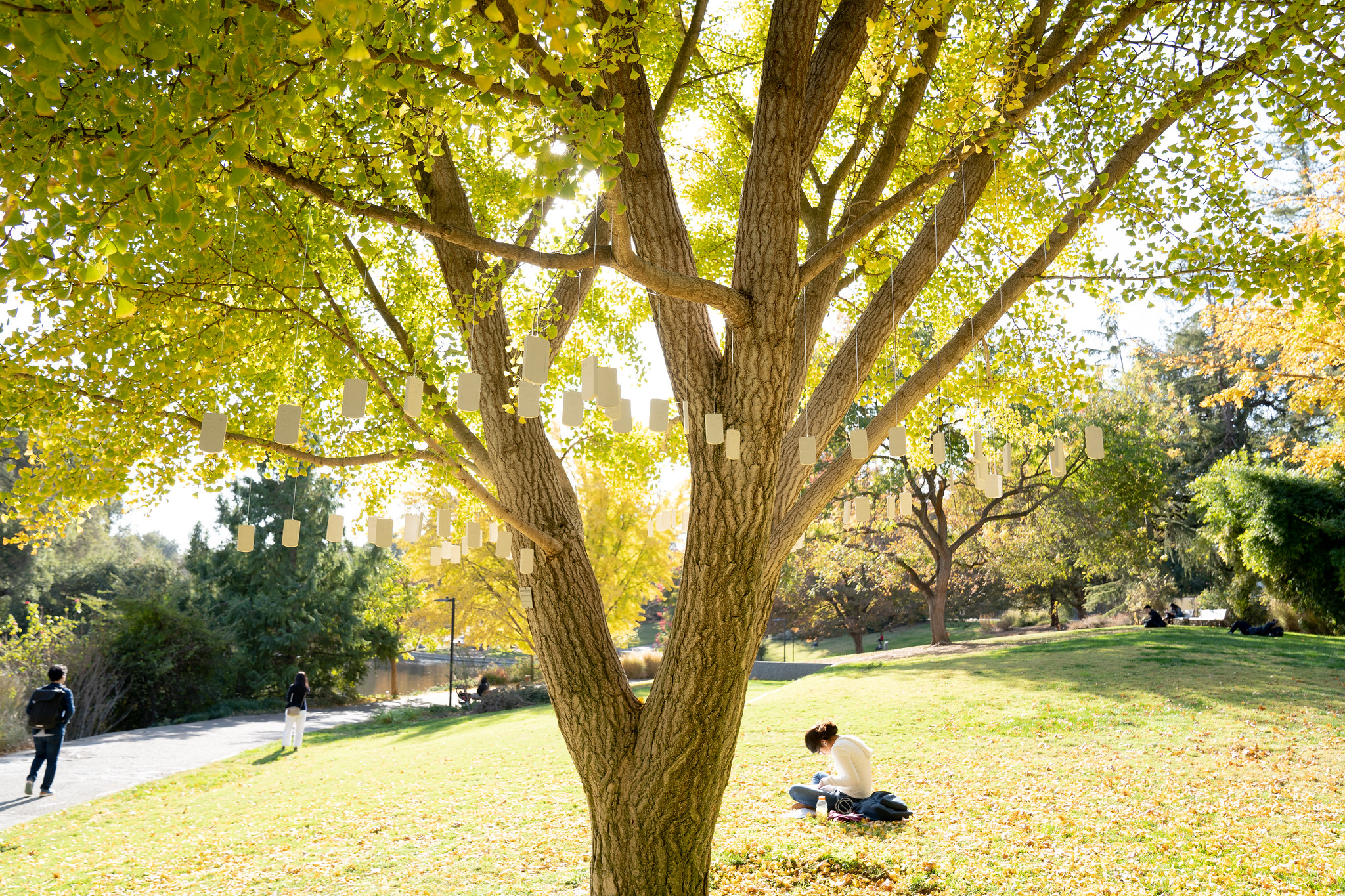 Image of student studying underneath a gingko tree and site of a sculpture installation entitled Addiction, 2019.