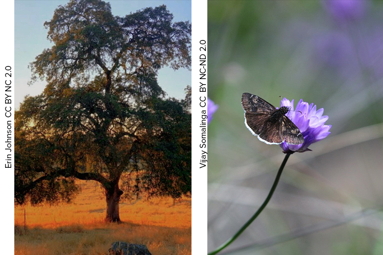 Valley Oak and butterfly