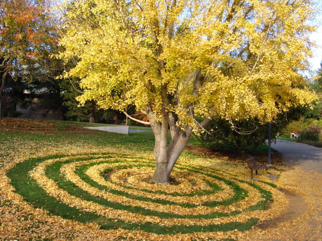 Gingko tree rings