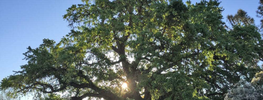 Image of a valley oak tree in the UC Davis Arboretum.