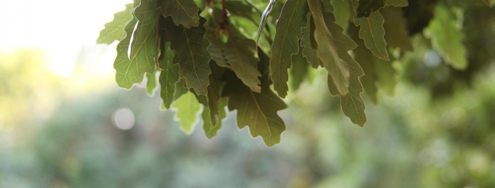 Image of oak leaves in the sunlight.
