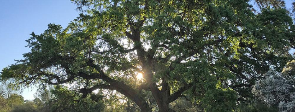 Image of valley oak in the UC Davis Arboretum with the sun setting behind.