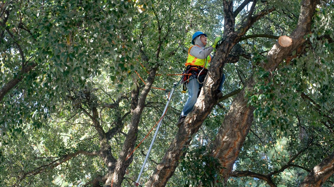 UC Davis tree trimmer