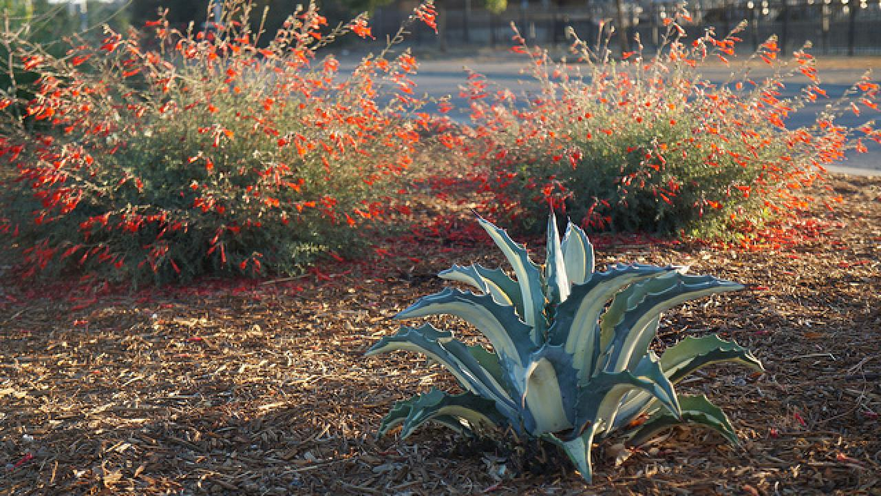 Dwarf white-striped century plant planted in combination of finer textured plants like the California fuchsia shown.