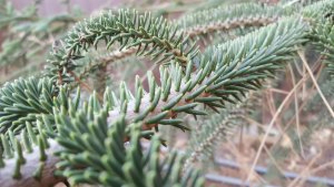 Needles of Spanish fir