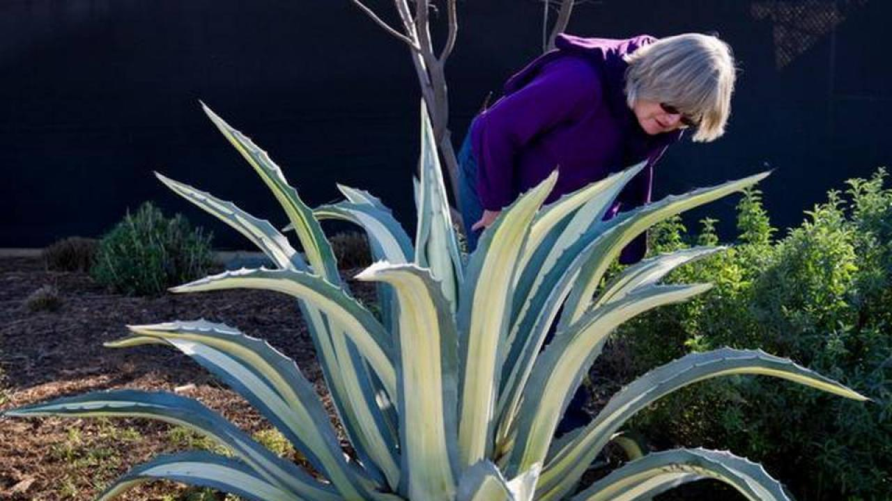 Ellen Zagory inspects agave plant