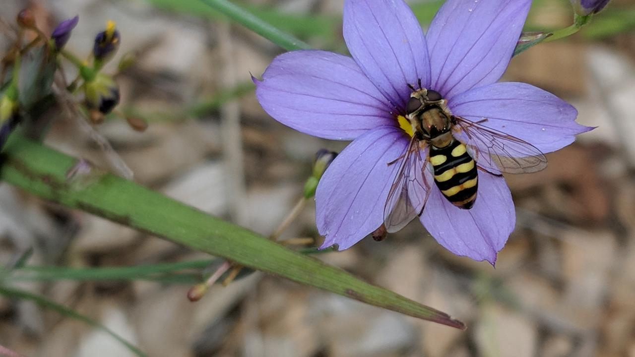 Photo of a flower fly on blue-eyed grass