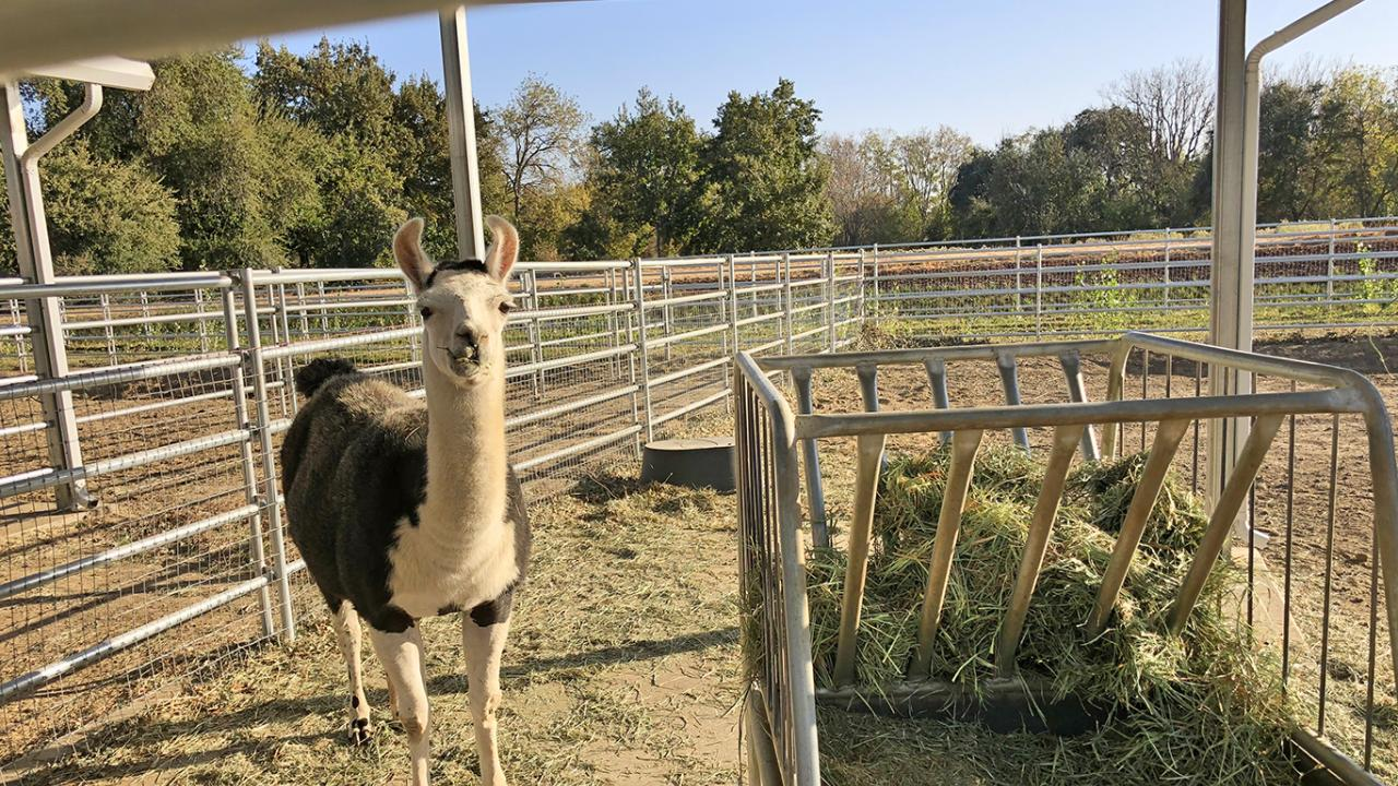 Image of llama in the UC Davis Large Blood Donor Animal Facility.