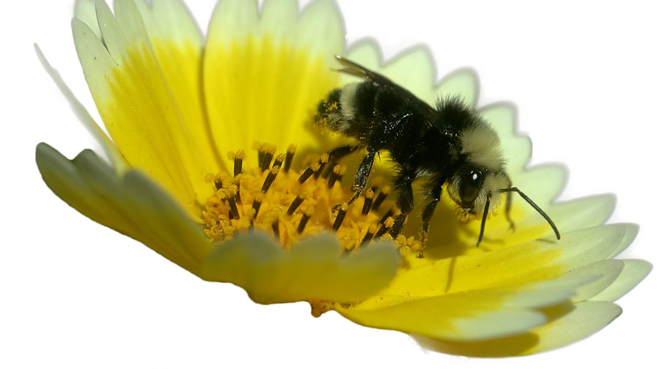 Image of a yellow-faced bumble bee on a flower.