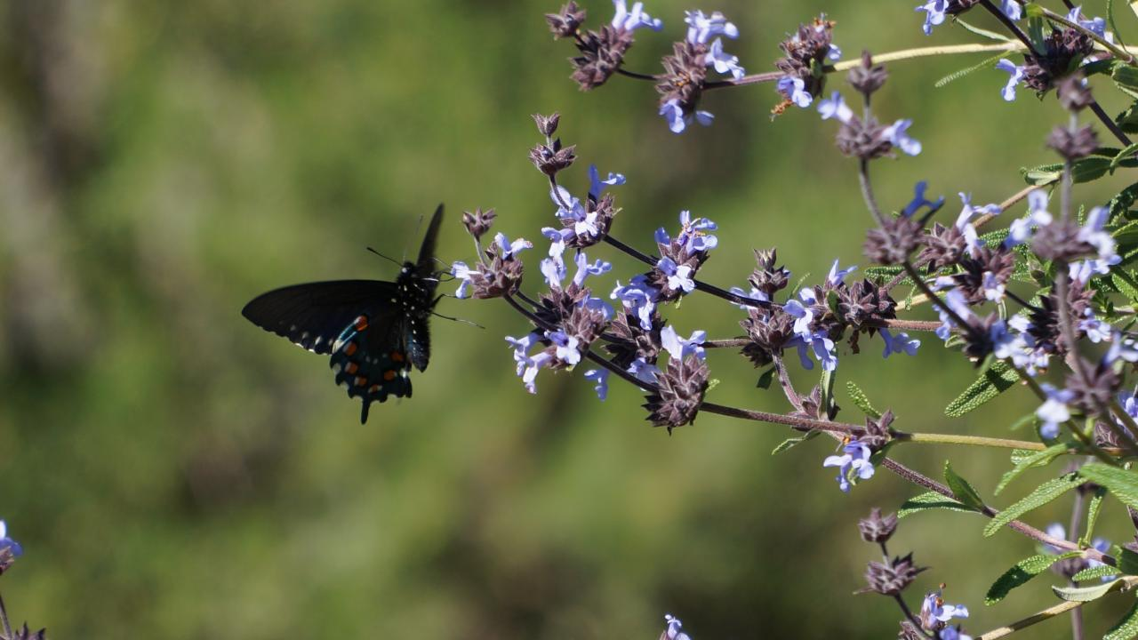 Image of pipevine swallowtail butterfly on Salvia.