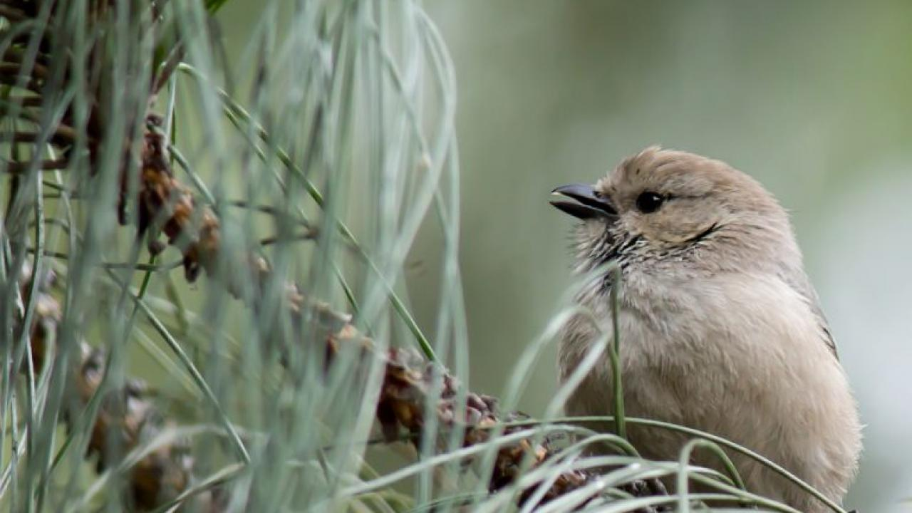 Winter Birds in Davis: Slide Show and Tour