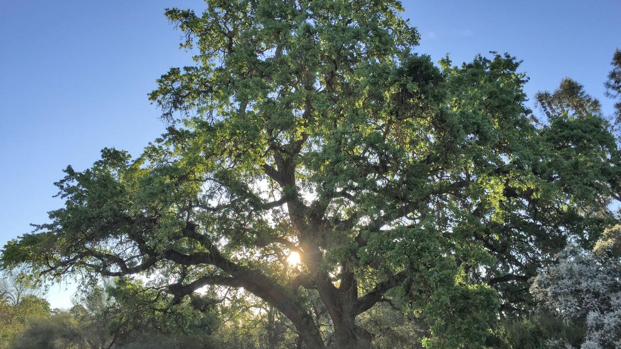 Image of a valley oak in the UC Davis Arboretum.