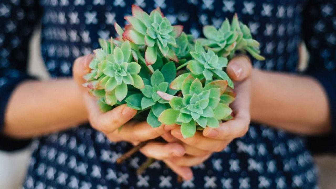 Image of hands holding a bunch of succulent cuttings.