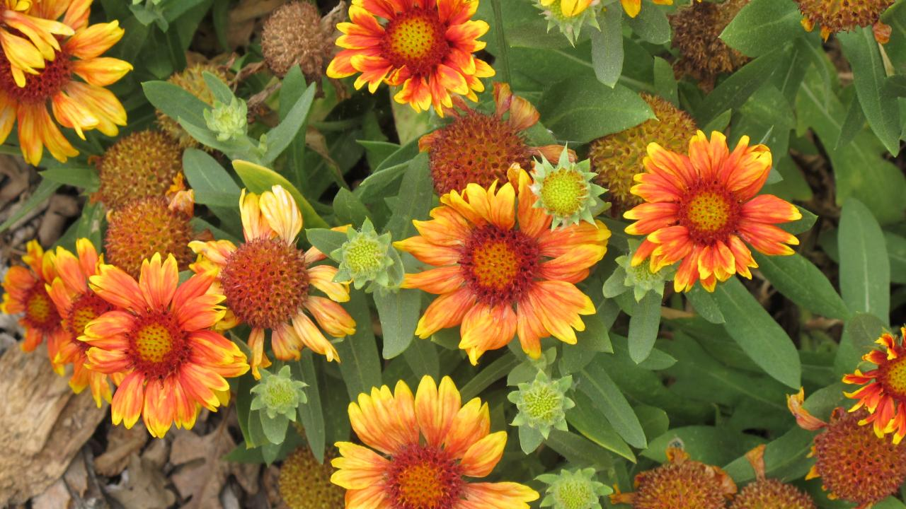 Image of blanket flower in the UC Davis Arboretum.