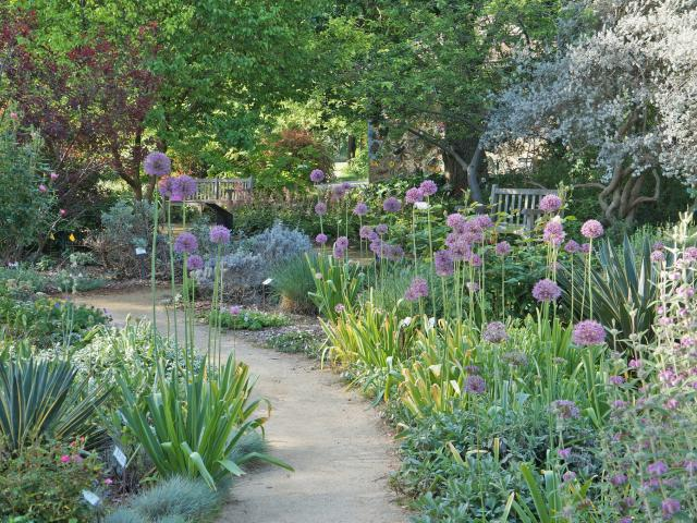 Image of the UC Davis Arboretum Ruth Risdon Storer Garden in spring with giant purple alliums blooming.