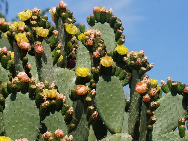 A prickly pear cactus