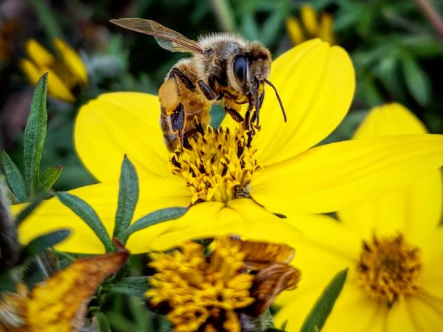 Image of a bee on flowers in the UC Davis Arboretum.