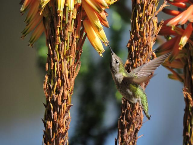 Image of a hummingbird drinking nectar from a torch lily in the UC Davis Hummingbird GATEway Garden.