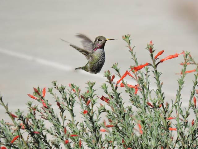 Image of hummingbird amongst fuchsia blossoms in the UC Davis Arboretum and Public Garden.