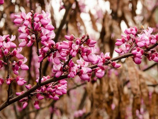 Warren G. Roberts Redbud Collection