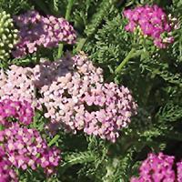 Plant Database | UC Davis Arboretum and Public Garden