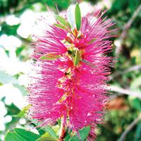 purple bottlebrush