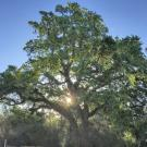 Image of valley oak in the UC Davis Arboretum.