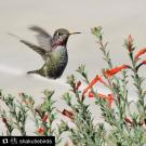 Anna's hummingbird at the UC Davis Arboretum