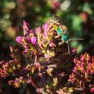 Image of native bee on flowers in the UC Davis Arboretum and Public Garden.