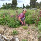UC Davis Arboretum and Public Garden Learning by Leading student in the Habitat Horticulture program works in a pollinator garden.
