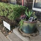 Image of container planting on the front step of the UC Davis Arboretum Headquaters.