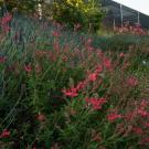 Image of Autumn sage in the UC Davis Arboretum Teaching Nursery's demo bed.