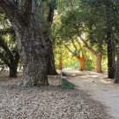 oak grove: oak trees and path