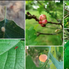 The photo displays the diversity of gall wasps that are found both in the Arboretum and throughout the world.