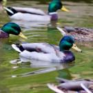 Image of a mallard duck in the UC Davis Arboretum.