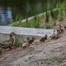 Ducklings walk around the weirs
