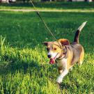 Image of beagle on a leash in the grass.