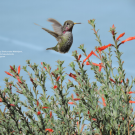 Image of a hummingbird drinking nectar from California fuchsia in the UC Davis Arboretum and Public Garden.