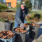 Larry Hoover, Arboretum and Public Garden volunteer, removes leaves from around the fruit trees at the UC Davis Good Life Garden.