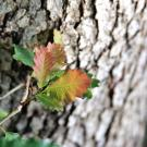 Image of oak leaf against oak bark in the UC Davis Arboretum.