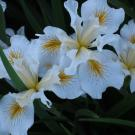 image of white iris.