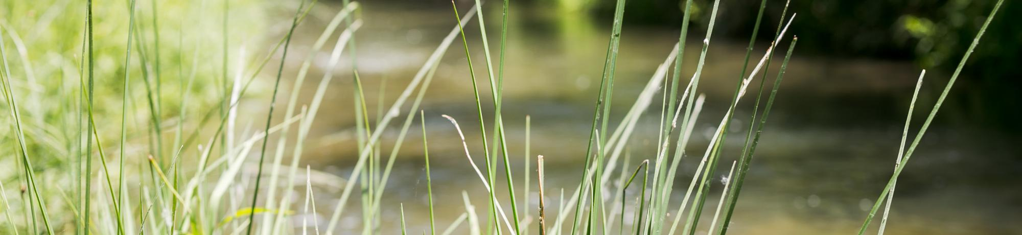 Image of grass along Putah Creek.