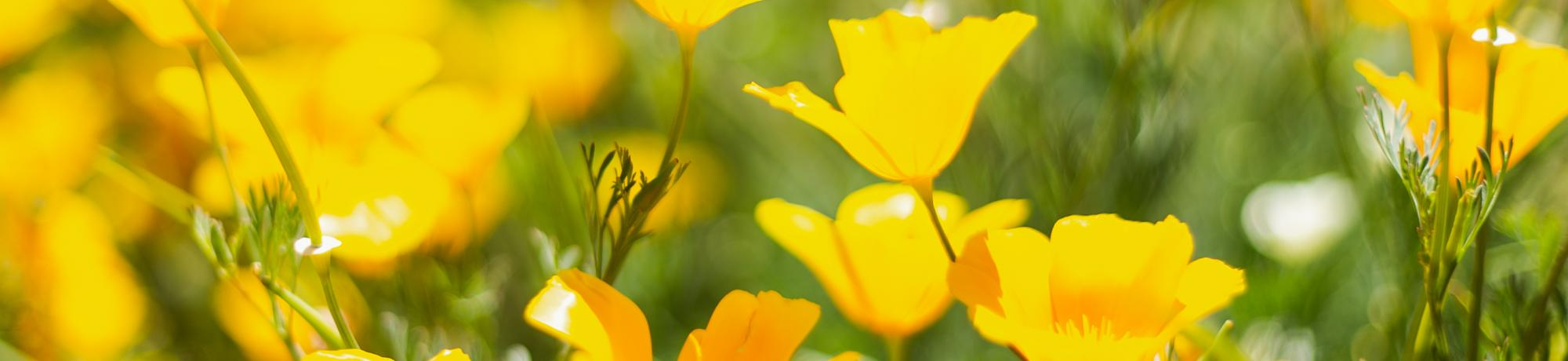 Image of California poppies in bloom in the UC Davis Arboretum and Public Garden.