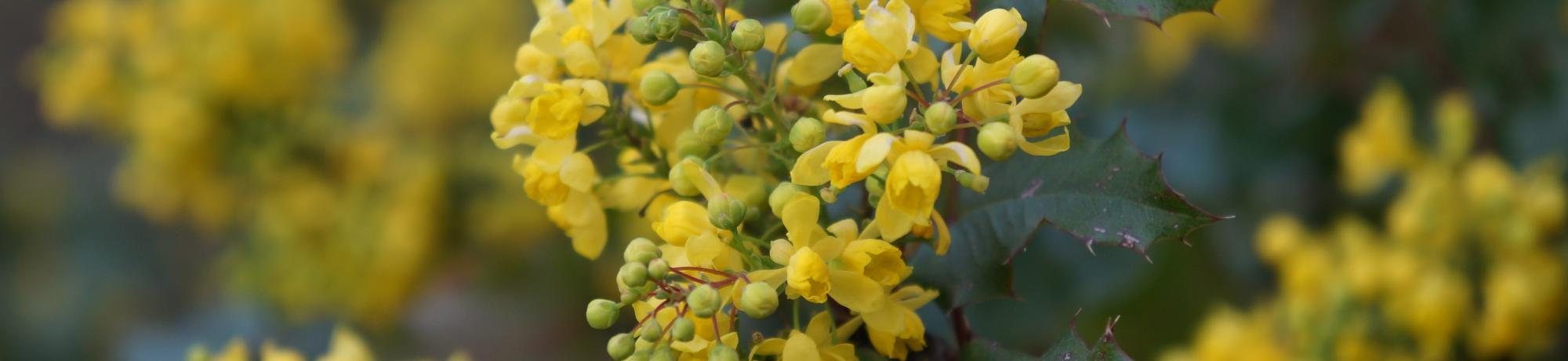 Image of Arboretum All-Star plant, Oregon grape.