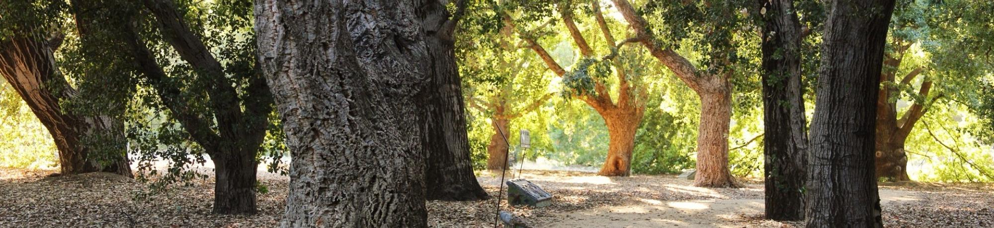 Image of the Peter J. Shields Oak Grove in the UC Davis Arboretum.