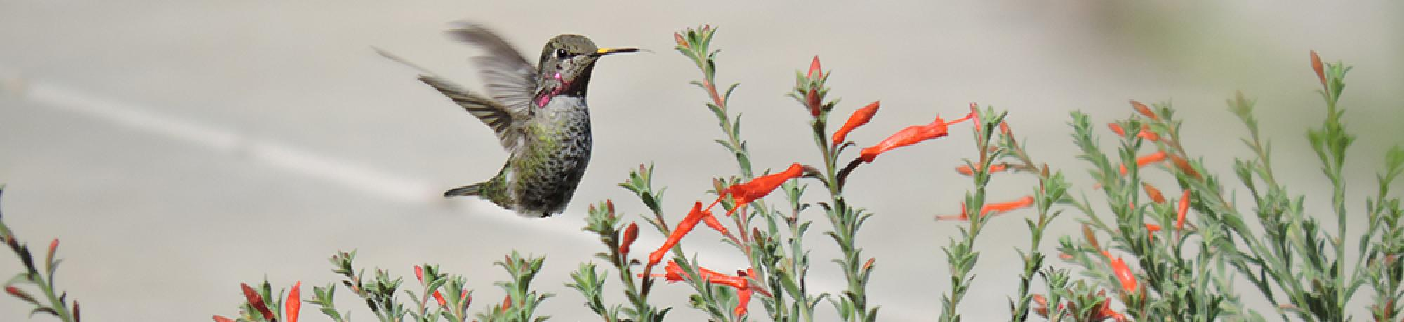 Image of hummingbird grazing in a patch of California fuchsia in the UC Davis Hummingbird GATEway Garden.